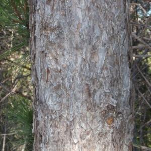 Photographie n°67319 du taxon Pinus nigra subsp. salzmannii (Dunal) Franco