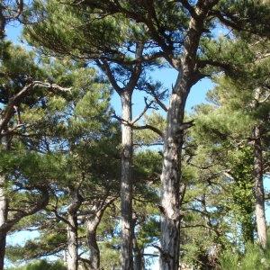 Photographie n°67325 du taxon Pinus nigra subsp. salzmannii (Dunal) Franco