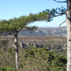 Photographie n°67326 du taxon Pinus nigra subsp. salzmannii (Dunal) Franco