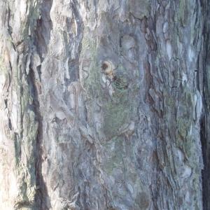Photographie n°67327 du taxon Pinus nigra subsp. salzmannii (Dunal) Franco