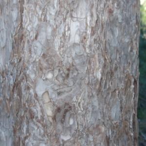 Photographie n°67332 du taxon Pinus nigra subsp. salzmannii (Dunal) Franco