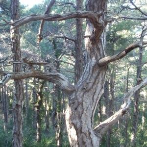 Photographie n°67334 du taxon Pinus nigra subsp. salzmannii (Dunal) Franco