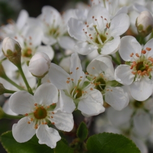 Photographie n°67337 du taxon Prunus mahaleb L.