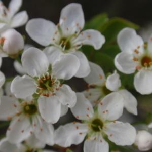 Photographie n°67338 du taxon Prunus mahaleb L.