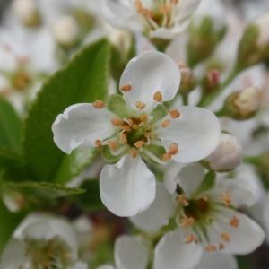 Photographie n°67339 du taxon Prunus mahaleb L.