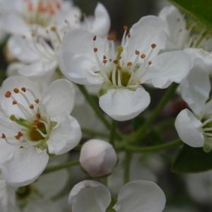 Photographie n°67340 du taxon Prunus mahaleb L.