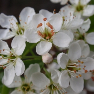 Photographie n°67341 du taxon Prunus mahaleb L.