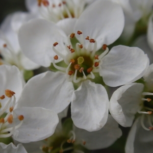 Photographie n°67342 du taxon Prunus mahaleb L.