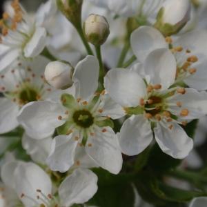 Photographie n°67343 du taxon Prunus mahaleb L.