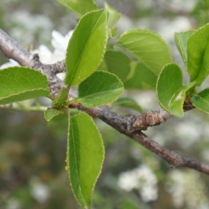 Photographie n°67344 du taxon Prunus mahaleb L.