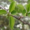 Daniel BARTHELEMY - Prunus mahaleb L.