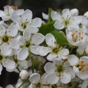Photographie n°67346 du taxon Prunus mahaleb L.