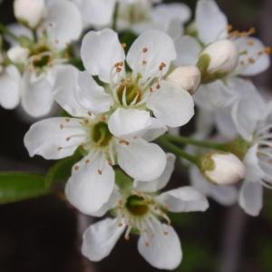 Photographie n°67347 du taxon Prunus mahaleb L.