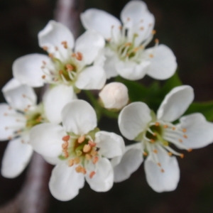 Photographie n°67348 du taxon Prunus mahaleb L.