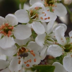 Photographie n°67349 du taxon Prunus mahaleb L.