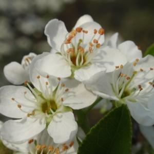Photographie n°67350 du taxon Prunus mahaleb L.