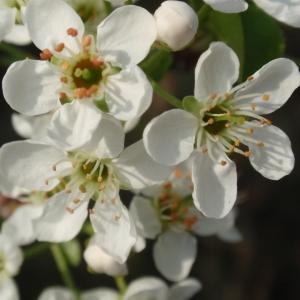 Photographie n°67351 du taxon Prunus mahaleb L.