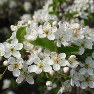 Photographie n°67352 du taxon Prunus mahaleb L.