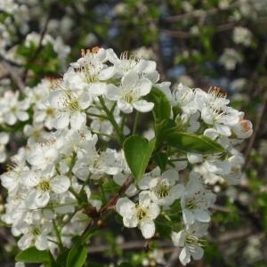 Photographie n°67353 du taxon Prunus mahaleb L.