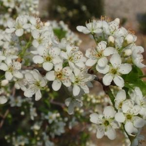 Photographie n°67354 du taxon Prunus mahaleb L.