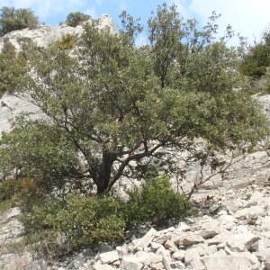 Photographie n°67361 du taxon Quercus ilex L. [1753]