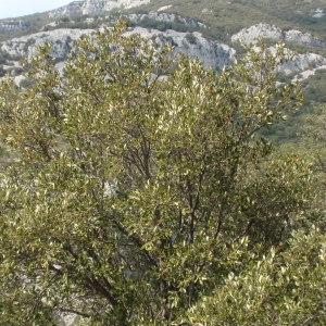 Photographie n°67362 du taxon Quercus ilex L. [1753]