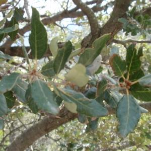 Photographie n°67363 du taxon Quercus ilex L. [1753]