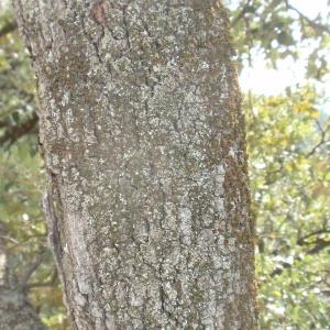 Photographie n°67367 du taxon Quercus ilex L. [1753]