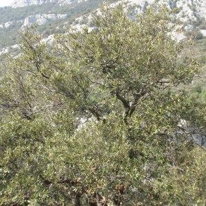 Photographie n°67368 du taxon Quercus ilex L. [1753]