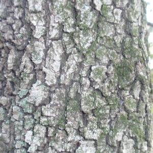 Photographie n°67369 du taxon Quercus ilex L. [1753]