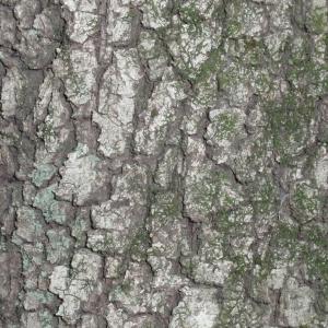 Photographie n°67370 du taxon Quercus ilex L. [1753]