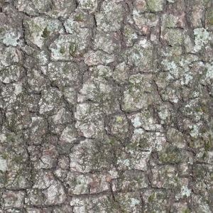 Photographie n°67371 du taxon Quercus ilex L. [1753]