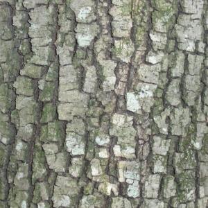 Photographie n°67373 du taxon Quercus ilex L. [1753]