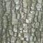 Daniel BARTHELEMY - Quercus ilex L.