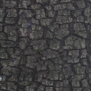 Photographie n°67375 du taxon Quercus ilex L. [1753]