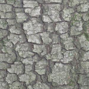 Photographie n°67376 du taxon Quercus ilex L. [1753]