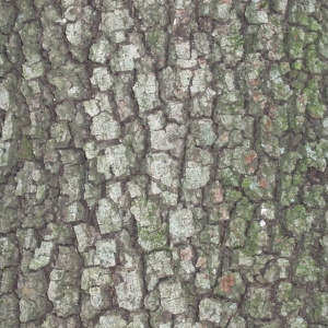 Photographie n°67377 du taxon Quercus ilex L. [1753]