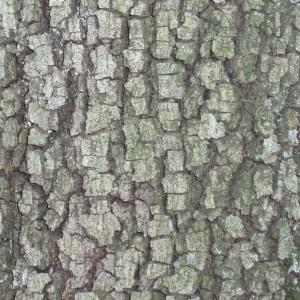 Photographie n°67378 du taxon Quercus ilex L. [1753]