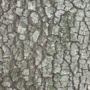 Photographie n°67379 du taxon Quercus ilex L. [1753]