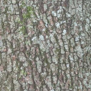 Photographie n°67380 du taxon Quercus ilex L. [1753]