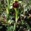 Patricia DESTRADE - Ophrys aranifera Huds.