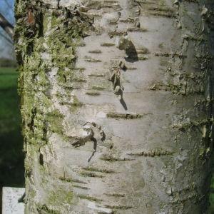 Photographie n°67450 du taxon Betula pubescens Ehrh. [1791]