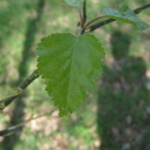 Photographie n°67452 du taxon Betula pubescens Ehrh. [1791]