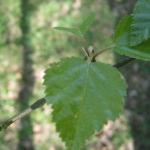 Photographie n°67453 du taxon Betula pubescens Ehrh. [1791]