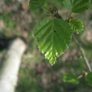 Photographie n°67454 du taxon Betula pubescens Ehrh. [1791]