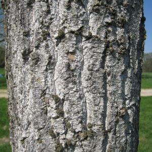 Photographie n°67541 du taxon Populus nigra L.
