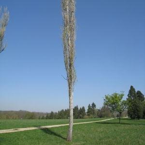 Photographie n°67544 du taxon Populus nigra L.