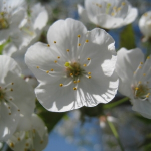 Photographie n°67546 du taxon Prunus avium (L.) L. [1755]