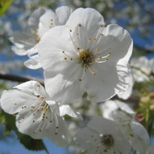 Photographie n°67547 du taxon Prunus avium (L.) L. [1755]