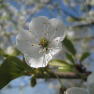 Photographie n°67548 du taxon Prunus avium (L.) L. [1755]